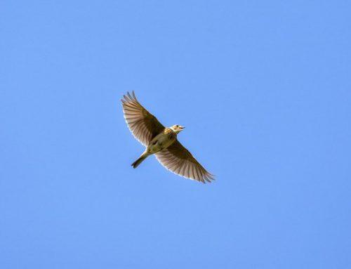 A lark of love